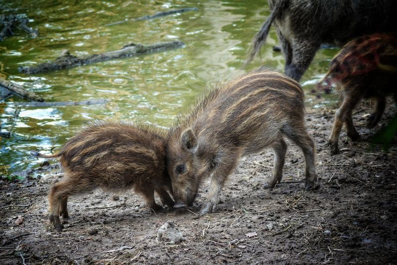 Animal Themes Animals In The Wild Outdoors Water Nature Young Animal Day Littlepiggies