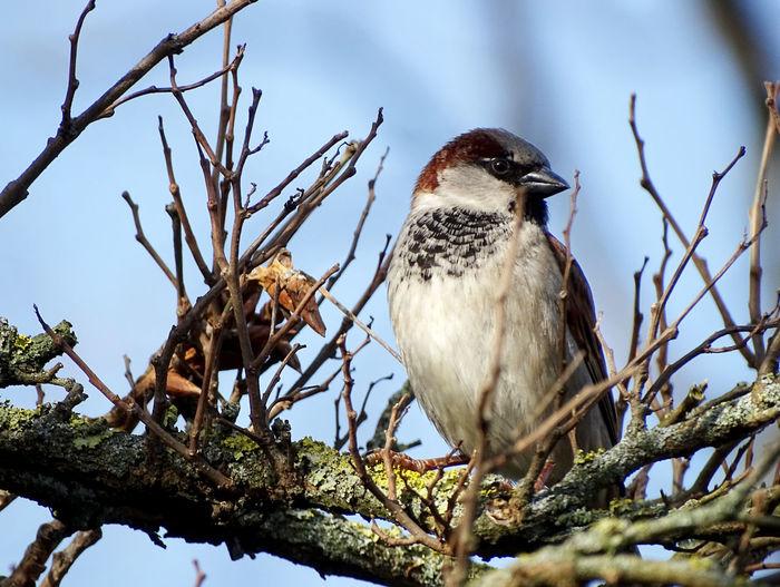 Sparrow Sparrow Bird Bird Photography Animal Themes Animal Portrait Bird Bird Of Prey Perching Tree Branch Bare Tree Sky Close-up