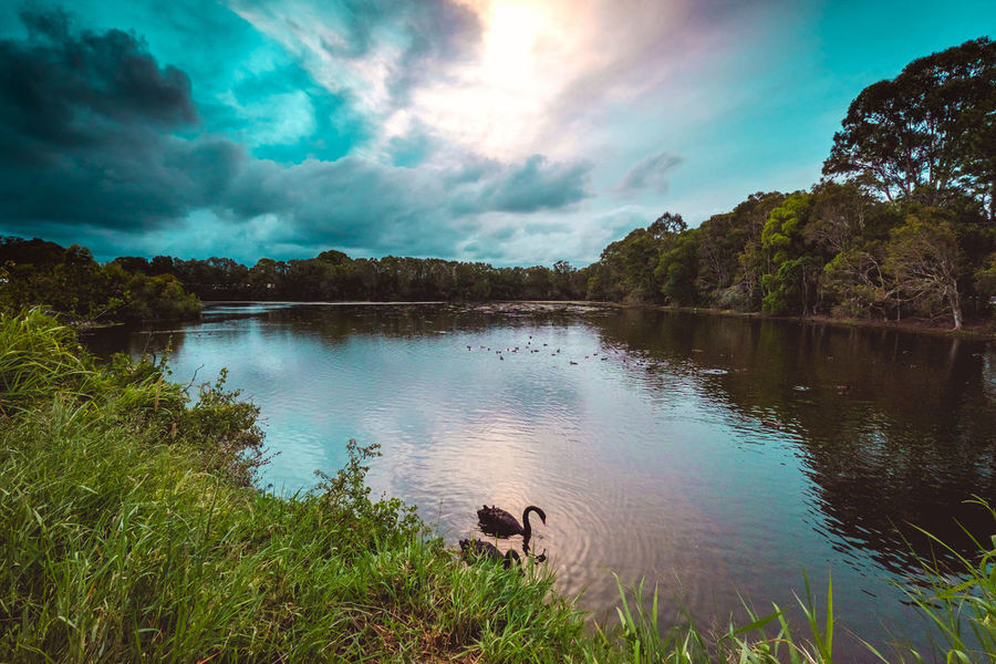 Black Swan Lake at Bundall on the Gold Coast - Australia. The lake is earmarked for destruction and development by the Gold Coast City Council. Cloud - Sky Reflection Nature Animal Themes EyeEm Best Shots EyeEm Best Edits EyeEm Nature Lover Beauty In Nature Lake Outdoors
