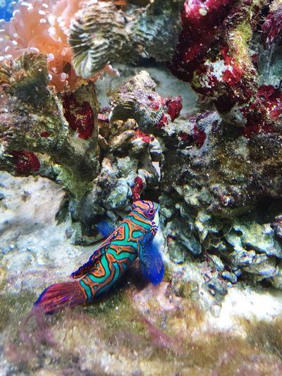 ปลาแมนดาริน Fish ตู้ปลา Fish Bowl