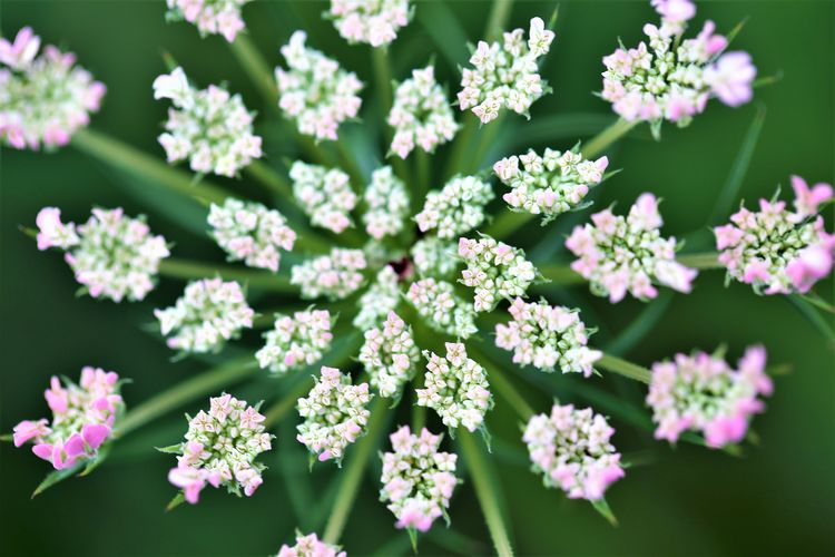 Inflorescence Growth High Angle View Close-up Petal No People Green Color Vulnerability  Fragility Beauty In Nature Freshness Flower Flowering Plant Pink Color Outdoors Plant Nature Flower Head Day Selective Focus