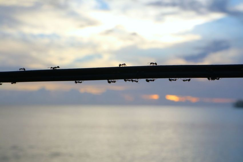 A group of ants walking along the ropes and cheerfully singing and greeting each other to enjoy the beaches of Siberut island, Mentawai Islands and the ant while saying 'good morning sunrise'. Animal Ant Canon EOS 600D DSLR Canon M3 Insect Insect Photography Sea Sea And Sky Seascape SeaScapePhotography Sunrise Live For The Story