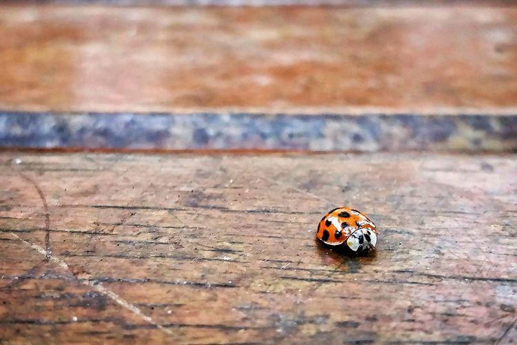 EyeEm Selects Insect Close-up Ladybug Mating Arthropod Wildlife Invertebrate Tiny Bug Beetle