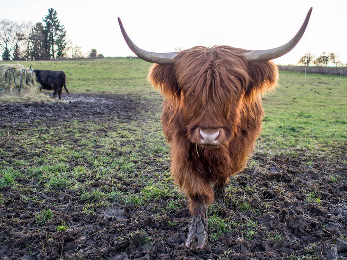 Scottisch highland cattle on the pasture Mammal Animal Themes Animal Domestic Animals Domestic Pets Livestock Land Field Vertebrate Cattle Horned Domestic Cattle Highland Cattle Plant Grass One Animal Animal Wildlife Day Animal Hair No People Outdoors Herbivorous Animal Head