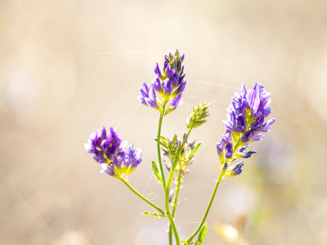 Lucerne Medicago Sativa Nature Beauty In Nature Biodiversity Blooming Blossom Close Up Nature Environment Flower Flower Head Fragility Freshness Growth Lucerne Flower Medicago Nature Nature_collection Plant Pollen Pollination Purple Purple Flower Spring Springtime