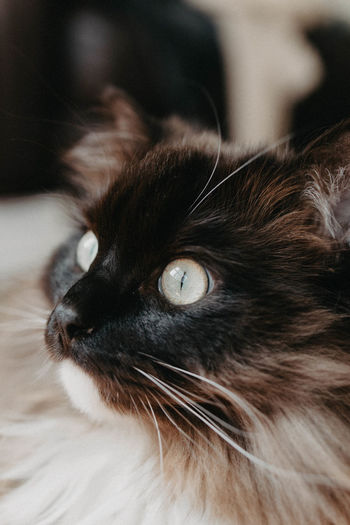 Focus On Foreground Animal Head  Eye Looking Away Animal Eye Animal Body Part No People Vertebrate Close-up Domestic Animals Feline One Animal Animal Themes Mammal Whisker Domestic Cat Pets Cat Animal Indoors  Domestic Snout