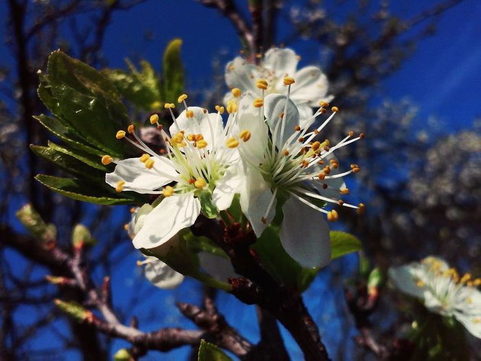 Hungary Beauty Flower Growth Nature Petal Plum Spring Tree