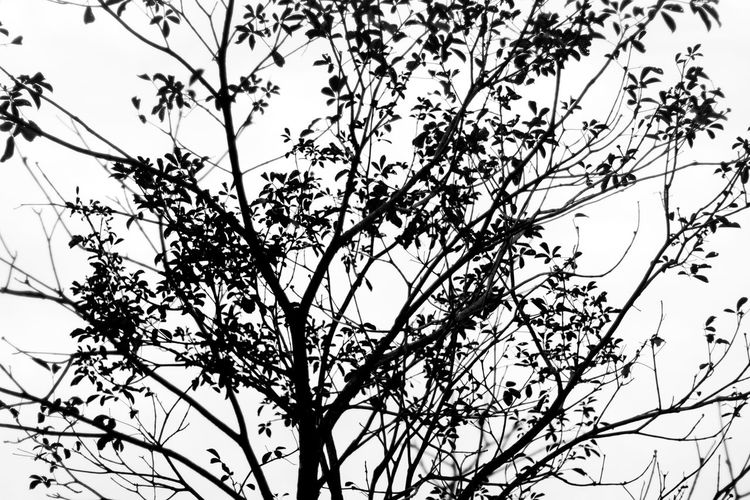 Beauty In Nature Botany Branch Day Growth High Section Low Angle View Majestic Nature Non-urban Scene Outdoors Outline Remote Scenics Silhouette Sky Tranquil Scene Tranquility Tree Tree Trunk