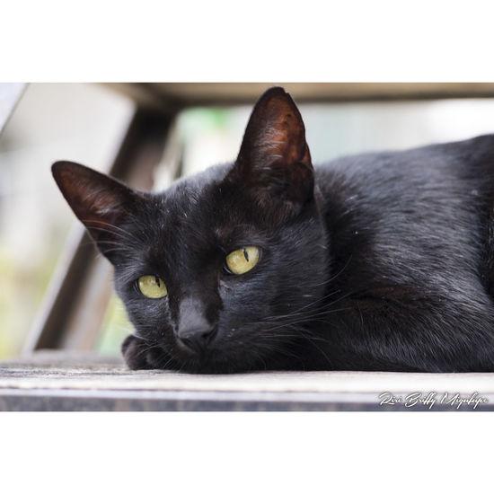 One Animal Domestic Animals Pets Domestic Cat Cat Animal Themes Close-up Feline Negro Black Eyes Ojos Gato Felino Naolinco Naolinco, Veracruz, Mexico. Naolinco