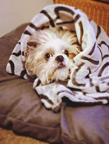 Well Hello There Peek-a-boo Feeling Cozy My Fur Baby Shih Tzu Prince