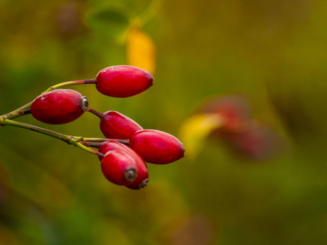 Autumn Autumn Colors Copy Space Nature Red Autumn Fruits Ecology Environment Floral Food Food And Drink Freshness Fruit Hip Hips Homeopathy Medicinal Plant Organic Rosa Canina Rosa Canina Hips Space For Text Vitamin C Wild Rose Wild Rose Hip Wild Roses