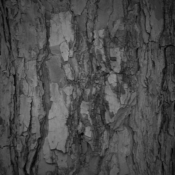 دره در دل درختی زنده. درخت درختان جنگل کاج بلوط کوه دره سخت زنده زیبا طبیعت ایران ایران را باید دید