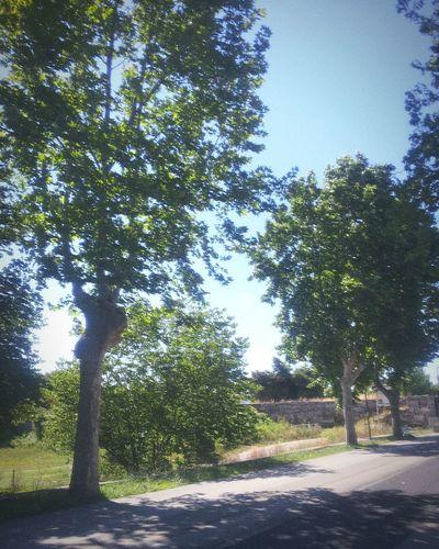 Trees on Paestum