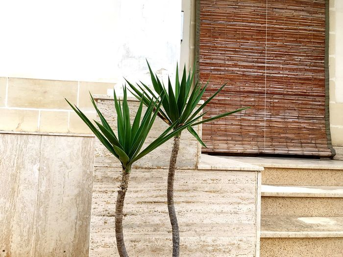 Palm Trees Two Palms Little Palms Little Palm Against Wall Maltascapes Malta♥