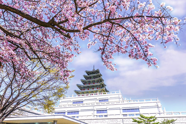 Gyeongbok Palace with spring cherry trees in Seoul, South Korea Tree Built Structure Plant Building Exterior Flower Architecture Flowering Plant Growth Nature Sky Branch Low Angle View Belief Building Day Blossom Cloud - Sky Religion Springtime No People Cherry Blossom Cherry Tree Outdoors Spire  Place Of Worship