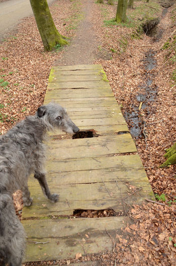 Scottish Deerhound leads the way over a somewhat broken bridge. Autumn Colors Deerhound Scottish Animal Themes Bridge Broken Close-up Dangerous Day Decayed Dog Domestic Animals Forest Mammal Nature No People One Animal Outdoors Pets Wobbly