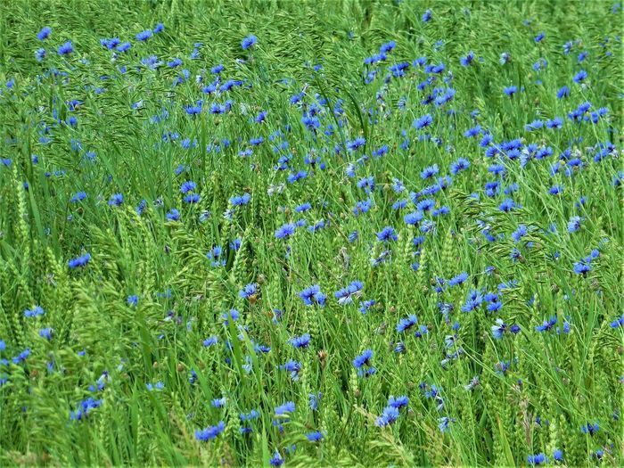 Sommer! Flower Blooming Wildflower Nature Beauty In Nature Field Green Color Grass Backgrounds Abundance Freshness Fragility Kornblumen Kornfield County Kornblumenfeld Cornflowers Blue Flowers Cornfield Breathing Space The Week On EyeEm The Great Outdoors - 2018 EyeEm Awards