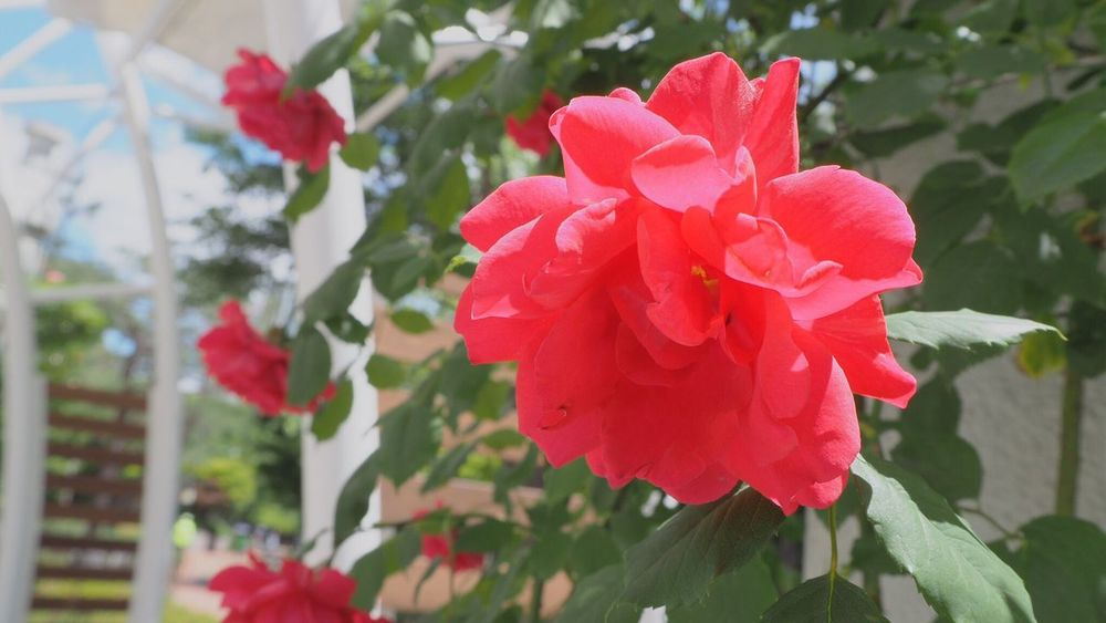 Rosé Flower Petal Fragility Beauty In Nature Growth Nature Freshness Flower Head Blooming Day No People Close-up Focus On Foreground Red Outdoors Plant Leaf Periwinkle