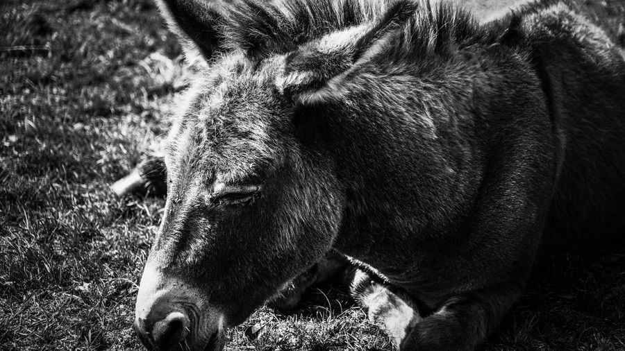 EyeEm Selects Animal Themes Mammal One Animal Domestic Animals No People Livestock Field Animals In The Wild Day Grass Outdoors Close-up Nature Donkey Monochrome Photography Monochrome _ Collection Black And White Photography EyeEm Gallery Black & White Animal Full Frame Black And White Headshot EyeEm Best Shots - Black + White