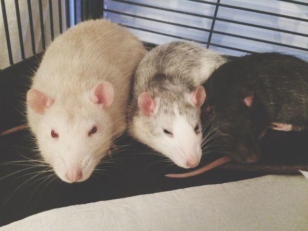 My lovely baby's Pet Rat