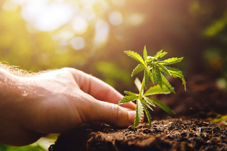 Man farmer hold hand Bush green marijuana. Cannabis plantation in sunlight Cannabis Farmer Farmers Market Marijuana Plant Natural Cannabis - Narcotic Cannabis Culture Cannabis Plant Hemp Hold Holding Hydroponics Leaf Lifestyles Marihuana Marijuana Marijuana Joint Medical Plantation