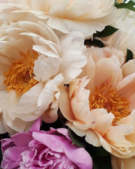 Sweet peonies Peony  Peonies Bloom Blossoms  Blossom EyeEm Selects Flower Head Flower Females Backgrounds Peony  Pink Color Petal Full Frame Beauty