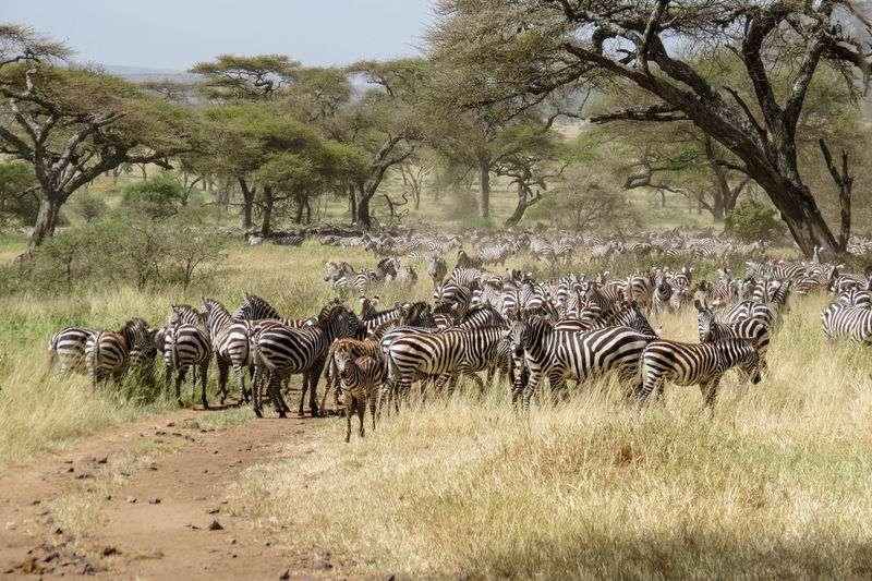 Zebras in the Great Migration African Beauty African Safari Animal Themes Animal Wildlife Animals In The Wild Equidae Great Migration Herd Animal Migration Safari Safari Adventure Safari Animals Tanzania Tourist Attraction  Veld Wildlife Wildlife & Nature Wildlife And Nature Wildlife Photography Wildlife Photos Zebra Zebra Herd Zebras Animal Photography