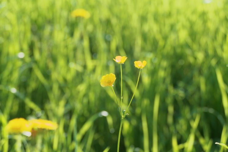 Flower Flowering Plant Plant Growth Fragility Yellow Beauty In Nature Vulnerability  Freshness Close-up Field Petal Focus On Foreground Green Color Nature No People Land Flower Head Plant Stem Inflorescence Outdoors Springtime