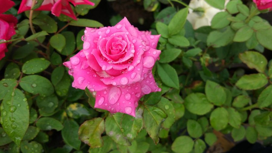 Wet Rose During Rainy Season