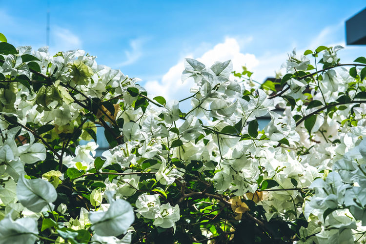 Low angle view of white flowering plants against sky