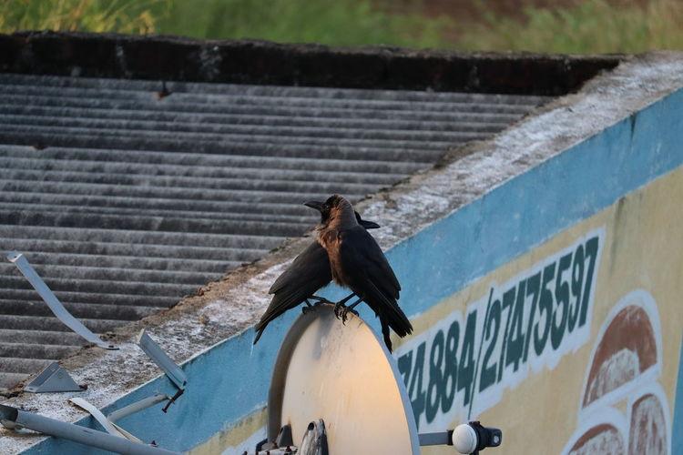 Pigeon perching on metal wall