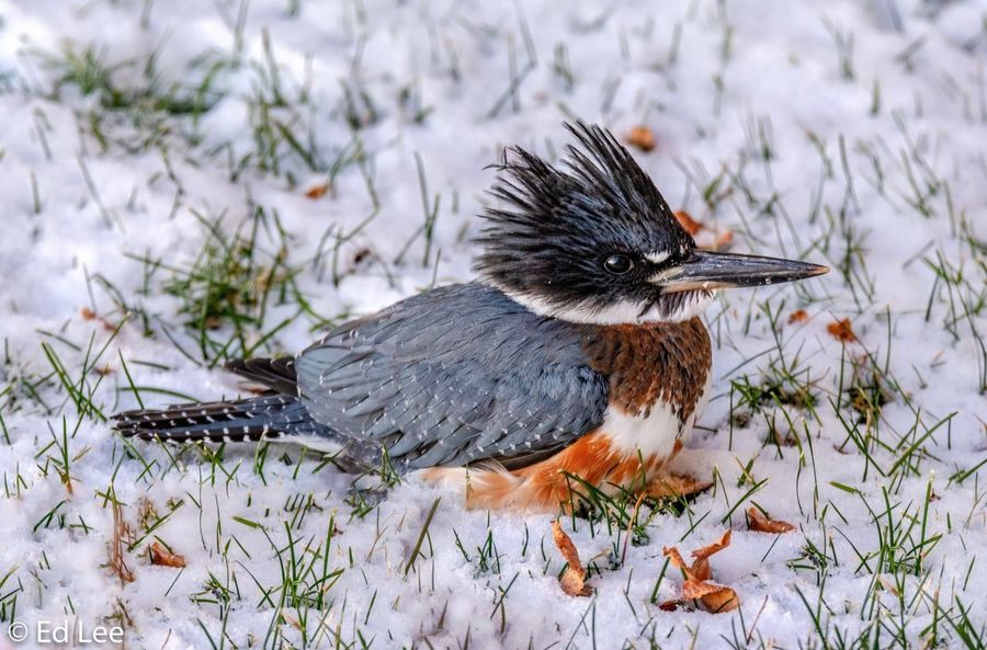 Belted Kingfisher Streamzoofamily Kingfisher Bird Birds Birds Of EyeEm  Malephotographerofthemonth Snow Winter One Animal Nature Animal Themes Cold Temperature No People Animal Animals In The Wild Close-up