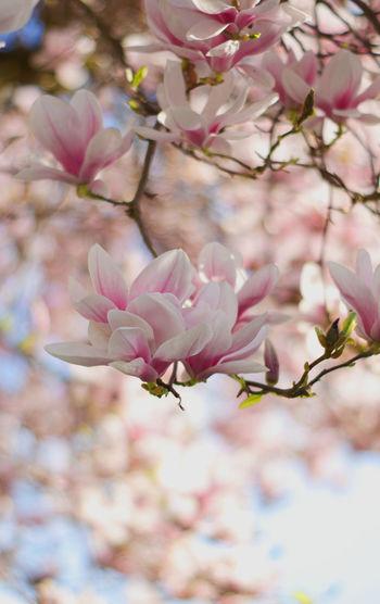 Flower Head Tree Flower Branch Defocused Springtime Pastel Colored Natural Parkland Pink Color Petal Plum Blossom Plant Life In Bloom Blossom Magnolia Botany