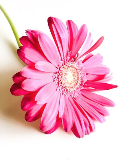Close-up of gerbera daisy flower on white background