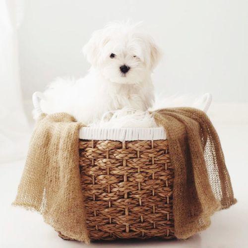 Hello World Maltese, Puppy, Puppy Love Puppy Photography Pet Photography  Maltese Mr Bojangles