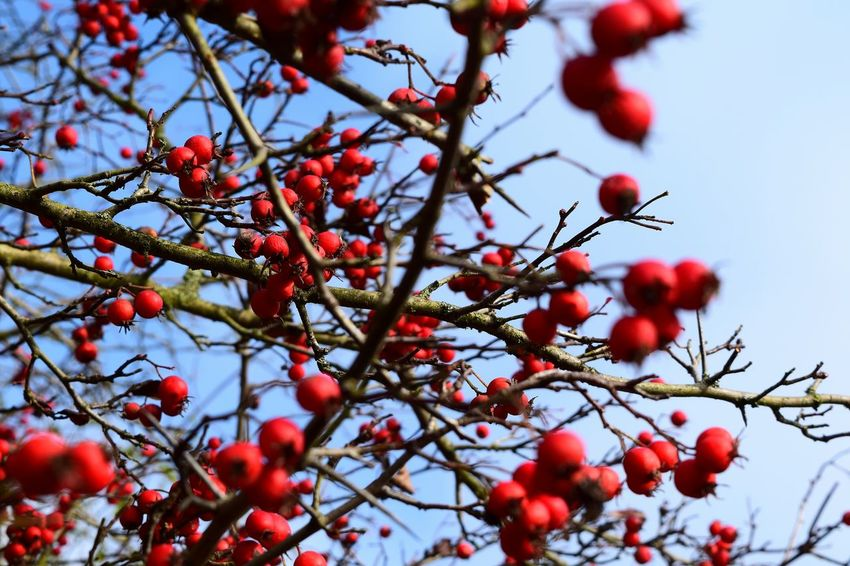 Blue and Red. Fruit Red Tree Rowanberry The Places ı've Been Today From My Point Of View November2016 Autumn🍁🍁🍁 Autumn 2016 The Places I've Been And The Things I've Seen Backgrounds Blue Sky Hagebutten Red Tranquility Eyeemphoto Change