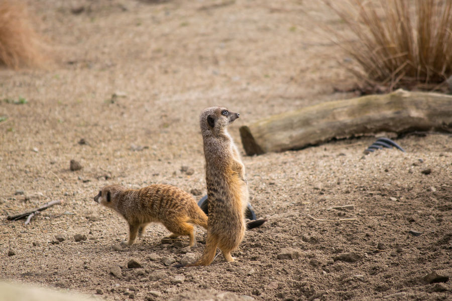 Animal Animal Themes Animals In Captivity Captivity Colour Image Day Field Grass Horizontal Looking Mammal Meerkats Nature No People Outdoors Pack Sand Standing Stones Tall Wildlife Zoo