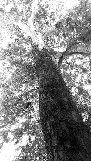 Monochrome Photography HuaweiP10 Mynewphone Tree Natureblackandwhite