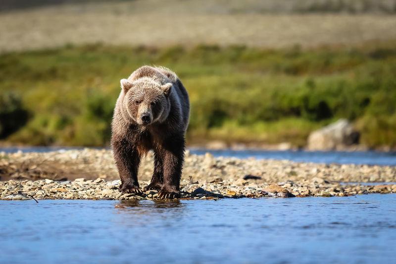 Bear on riverbank