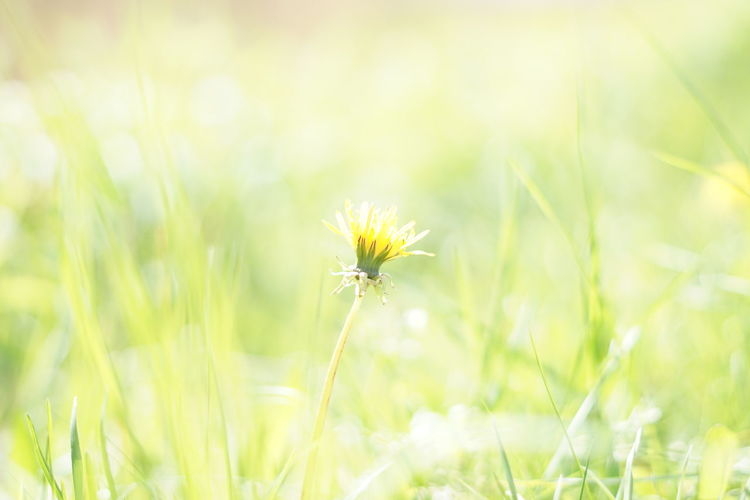 Natural Backgrounds are beautiful. Blurred Background Lovely Sun Spring spring into spring Spring Has Arrived Beauty In Nature Green Yellow Yellow Flower Healthy Eating Healthy Food Fitness Copyspace Advertising Beautiful Colorful Out Of Focus Flower Head Flower Summer Uncultivated Beauty Springtime Dandelion Dandelion Seed Wildflower Softness Photosynthesis