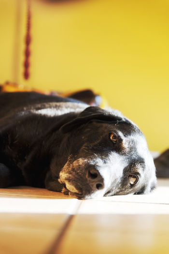 """Ziggy"" a chill day Animal Themes Best Friend Black Color Black Lab Black Labrador Close-up Dog Domestic Animals Indoors  Mammal Nikon D810 No People One Animal Pets Sun Bathing Sunlight Yellow Pet Portraits Summer Exploratorium"