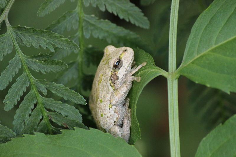 Frog カエル アマガエル カエル 両生類 蛙