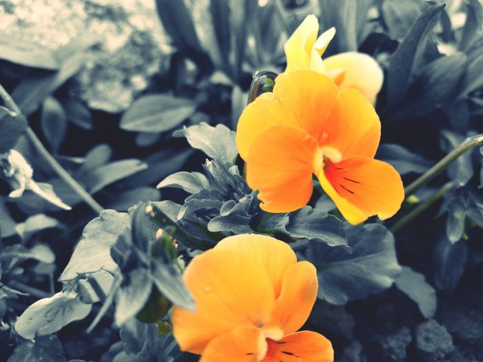 Yellow Flower Petal Flower Head Nature Blossom Plant Stamen Beauty In Nature Black & White HuaweiP9Photography EyeEmNewHere Softness Isolated Color Fragility No People Day Outdoors Freshness Close-up Contrast