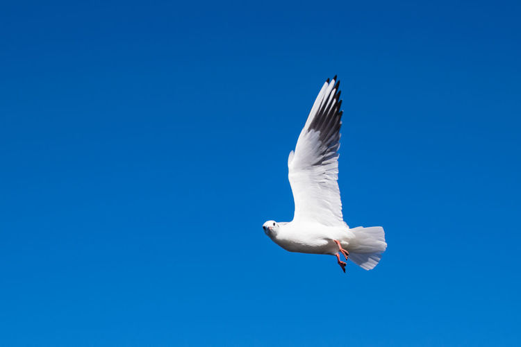 What are you looking at! Seagull in flight SEAGULL IN FLIGHT Seagulls Animal Themes Animal Wildlife Animals In The Wild Bird Blue Clear Sky Copy Space Day Flying Low Angle View Mid-air Motion Nature No People One Animal Outdoors Seagul Seagull Seagulls And Sea Seagulls In Flight Sky Spread Wings White Color