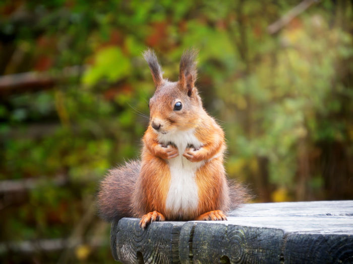 wild red squirrel on wooden table Herbivorous Animal Head  Whisker Brown Outdoors Close-up Squirrel Vertebrate Nature No People Wood - Material Day Focus On Foreground Animals In The Wild Rodent Mammal Animal Wildlife One Animal Animal Animal Themes