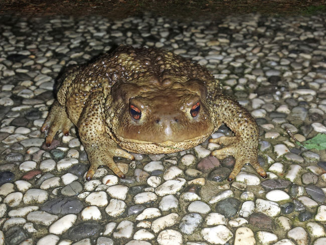 Bufo Bufo Amphibia Amphibian Photography Animal Themes Animal Wildlife Animalia Anura Bufo Bufo Bufo Bufonidae Close-up Nature Outdoors Tetrapoda Toad Toads And Frogs Vertebrate Pet Portraits