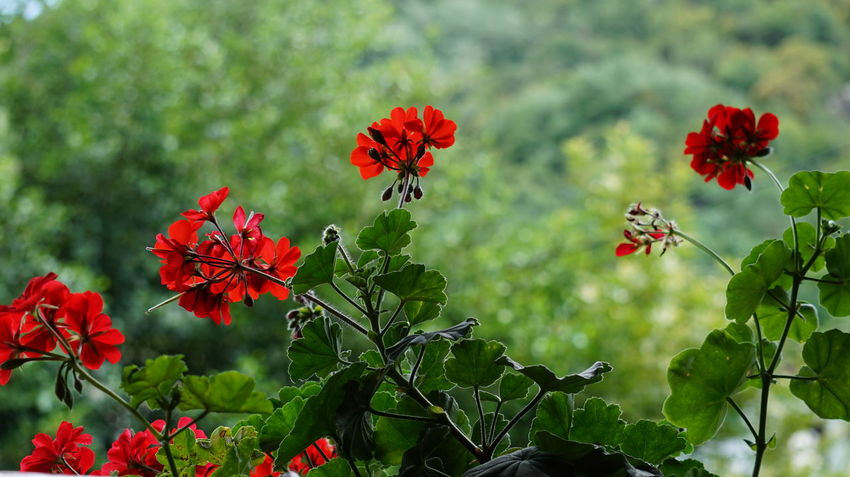 Blooming Blossom Close-up Flower Freshness In Bloom Nature Outdoors Plant Red Tranquility