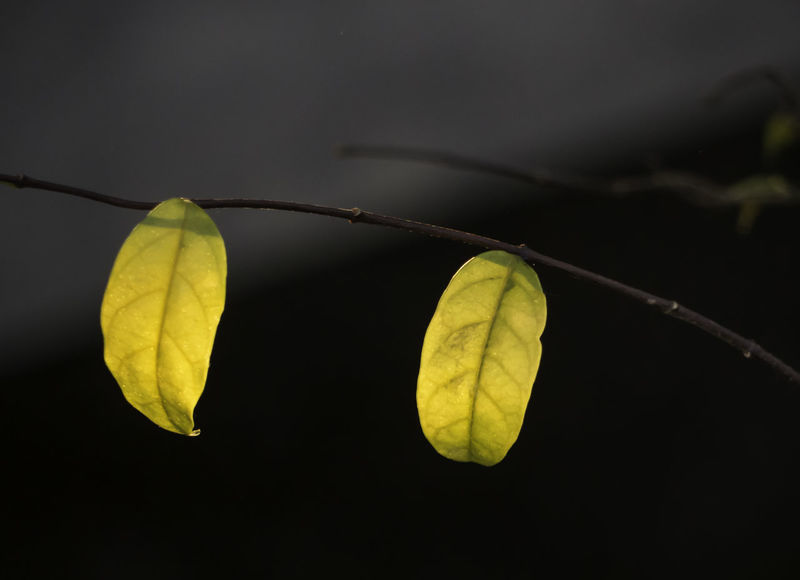autumn golden leafs Autumn Leafs Duo Hold On Shadows & Lights Beauty In Nature Close-up Colors Of Nature darkness and light Day Focus On Foreground Fragility Freshness Golden Leaf Golden Light Growth Leaf Left Leafs Mother Earth Mothernature Nature No People Outdoors Plant The Two Of Us  Yellow