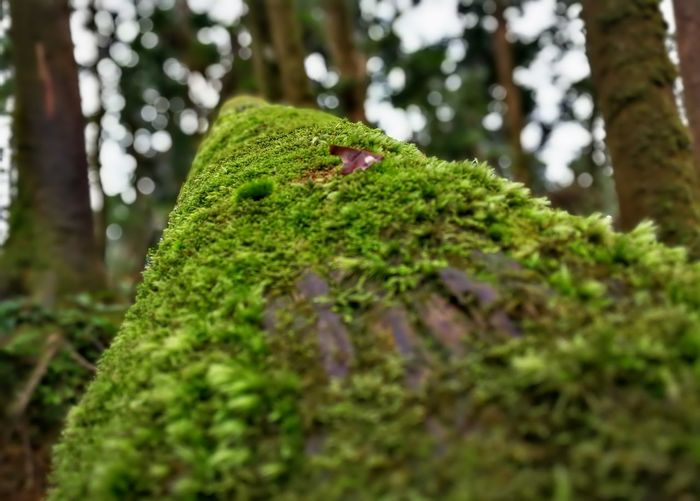 Green Color Nature Tree One Animal Selective Focus Forest Animal Wildlife Moss Outdoors No People Day Close-up Animal Themes Tree Trunk Pine Tree Animals In The Wild Beauty In Nature Plant Reptile Growth