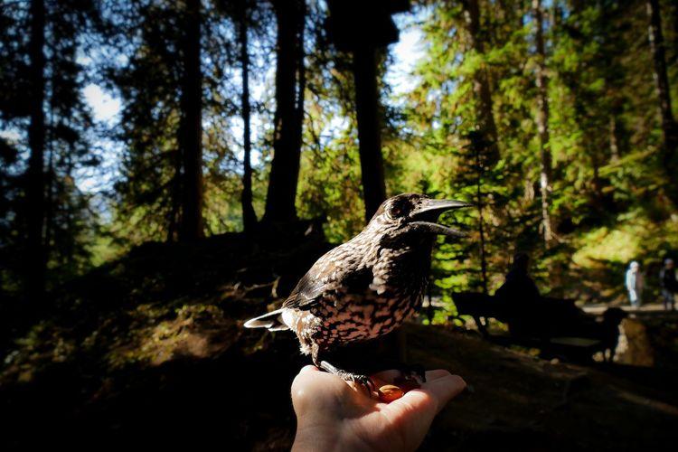 Nutcracker Bird